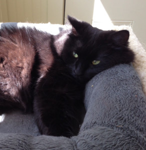 Such a gorgeous black cat, sure to bring luck to somebody! Loretta loves to be brushed and is coming along well, thanks to Maggie's House volunteers. (Photo by Maggie Holmes)